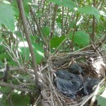 Baby gray catbirds