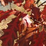 'Lefler' oak