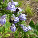 Bumblebees on 'Blue Select' lobelia