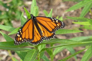 monarch on swamp milkweed in Veach AG header image